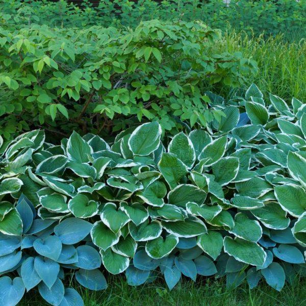 Funkie dostępne są  w wielu odmianach, różniących się wielkością i kolorami liści