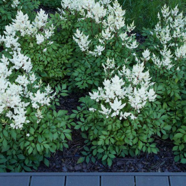 Tawułki dobrze rosną w glebie wilgotnej, próchnicznej i zasobnej w składniki pokarmowe.