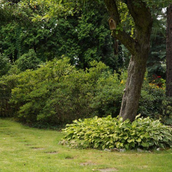 Bezpośrednio pod drzewami, zamiast trawy, warto posadzić rośliny cieniolubne, np. funkię.