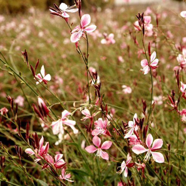 Gaura przypomina zwiewną chmurkę. Ma wiotkie, dość wysokie pędy i delikatne niczym skrzydełka motyli kwiaty. Nie lubi przesadzania