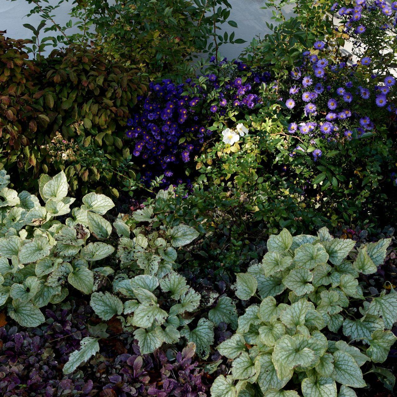 Kompozycja roślin o różnorodnym ulistnieniu. Na pierwszym planie dąbrówka, za nią brunnera, a w tle astry i róże