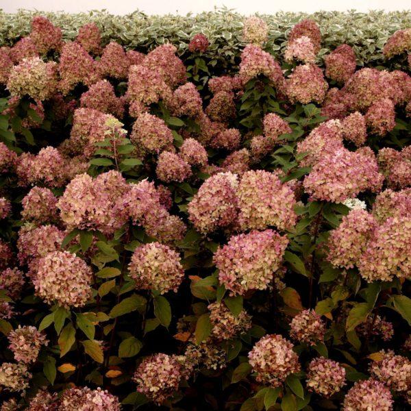 Przekwitłe kwiatostany hortensji wyglądają imponująco