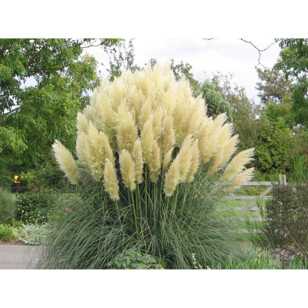 Trawa pampasowa to jedna z najpiękniejszych traw, ale jest również bardzo wrażliwa. www.obi.pl