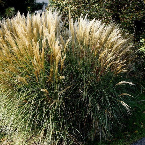 Miskanty preferują słoneczne stanowiska oraz żyzne, przepuszczalne, stale lekko wilgotne gleby.