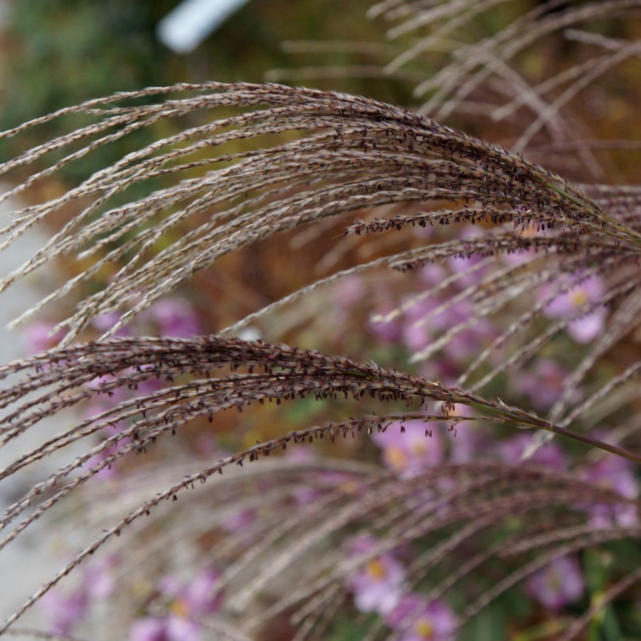Kwiatostany miskanta zimą wyglądają równie efektownie co jesienią.
