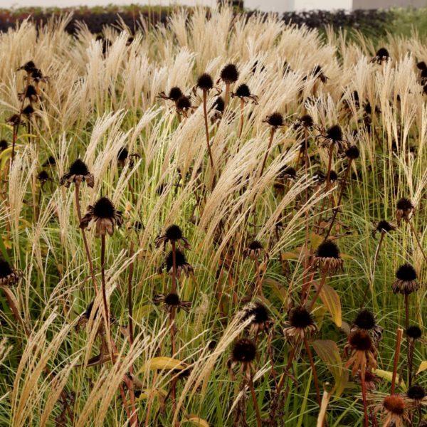 Miskant w towarzystwie przekwitniętych kwiatów jeżówki.