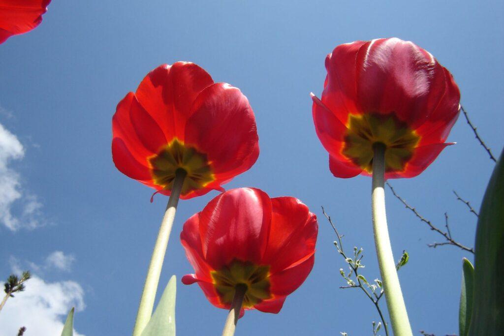 sadzimy rośliny cebulowe