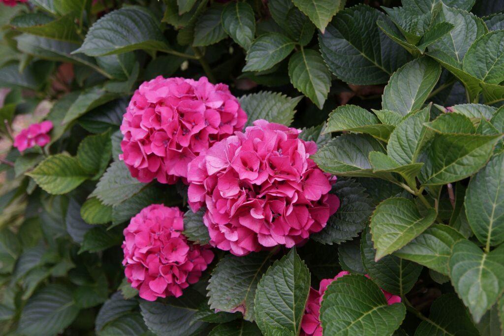 kolory hortensji