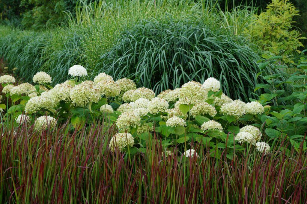 hortensje i trawy ozdobne