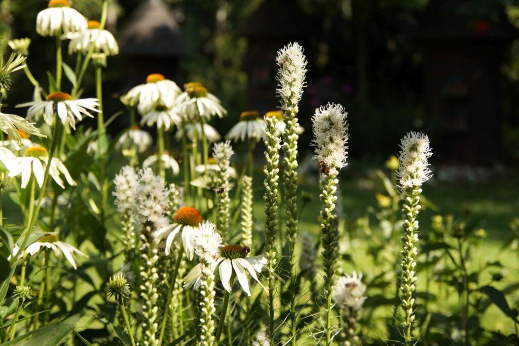 letni przepych w ogrodzie